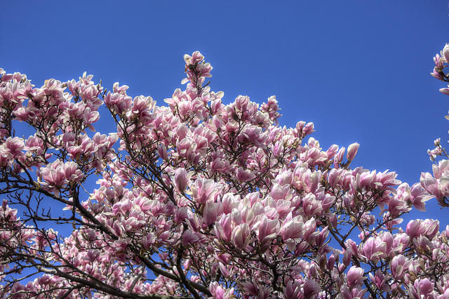 Magnolia Tree in Spring - Sweet and Savoring