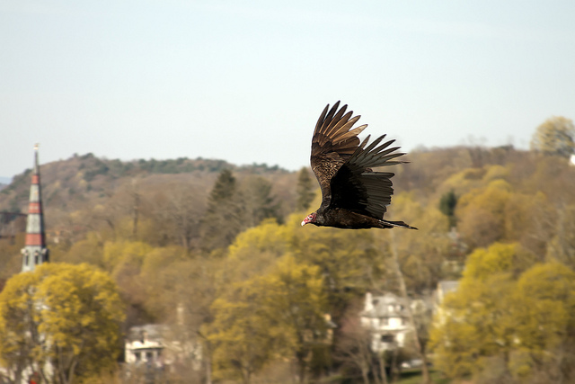 Kingston Vulture in the Spring - Sweet and Savoring